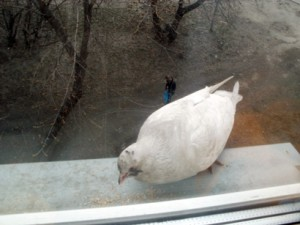 белая голубка